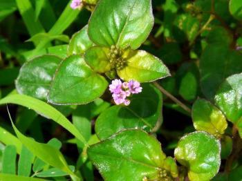 Punarnava A Rejuvenating Herb