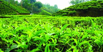 Green Tea An Elixir For Health